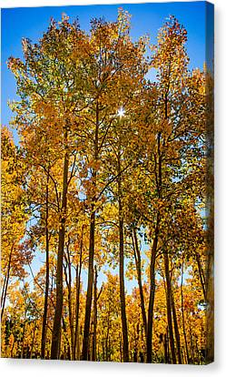 Tall Aspen With Sunstar Canvas Print