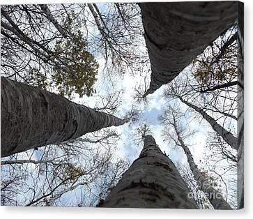 Tall Birches Canvas Print