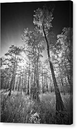 Tall Cypress Trees Canvas Print