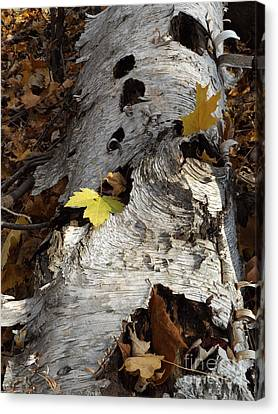 Tall Fallen Birch With Leaves Canvas Print
