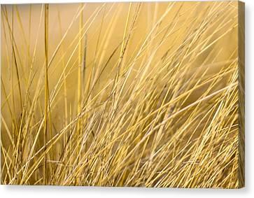Tall Golden Grass Canvas Print
