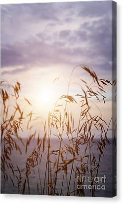 Sunflare Canvas Print - Tall Grass At Sunset by Elena Elisseeva