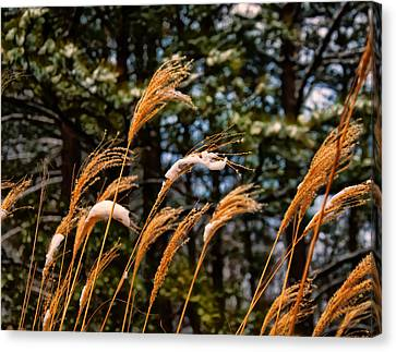 Tall Grass In Winter Canvas Print
