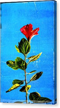 Tall Hibiscus - Flower Art By Sharon Cummings Canvas Print by Sharon Cummings