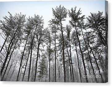 Tall Snow Covered Trees Canvas Print by Sharon Dominick
