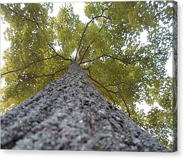 Tall Tree Canvas Print by Jenna Mengersen