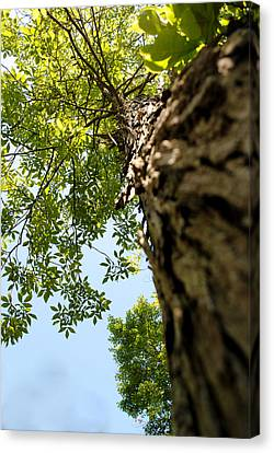 Tall Tree Canvas Print by Stephanie Grooms