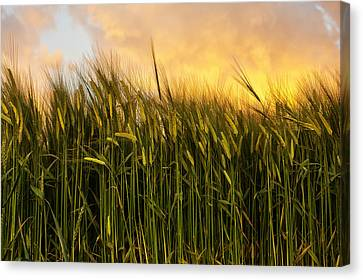 Tall Wheat Canvas Print by Svetlana Sewell