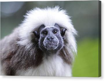 Canvas Print featuring the photograph Tamarins Face by Shoal Hollingsworth