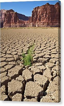 Tamarisk In Dry Colorado River Canvas Print