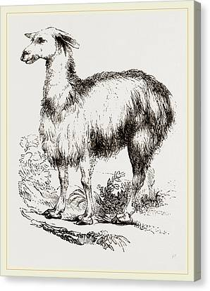 Tame Llama White Canvas Print