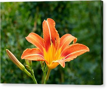Tangerine Lily Canvas Print by Will Borden