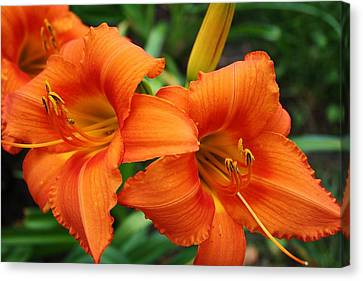 Tangerine Lush Daylily 2 Canvas Print by Bruce Bley