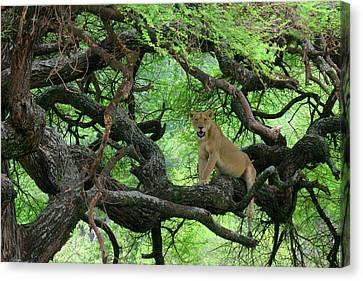 Tanzania African Lioness Rests On Tree Canvas Print