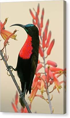 Tanzania, Ndutu Close-up Canvas Print