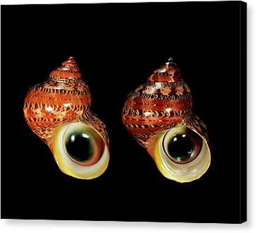 Tapestries - Textiles Canvas Print - Tapestry Turban Sea Snail Shells by Gilles Mermet