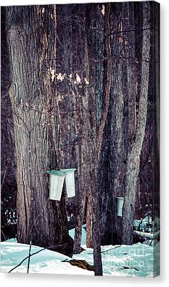 Tapped Maples Canvas Print by Cheryl Baxter