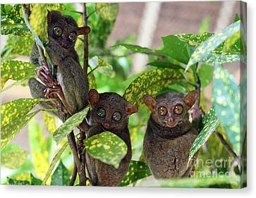 Tarsier Canvas Print by Lars Ruecker