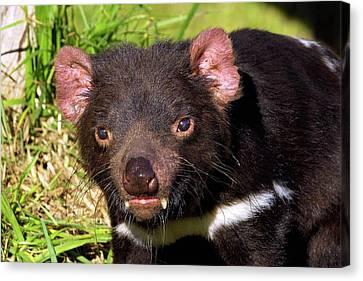 Large Mammals Canvas Print - Tasmanian Devil by Bildagentur-online/mcphoto-schulz