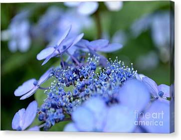 Canvas Print featuring the photograph Taube Lacecap Hydrangea by Scott Lyons