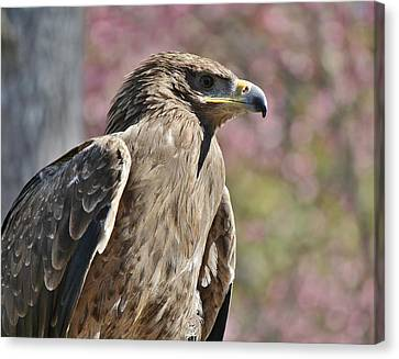 Tawny Eagle Amongst The Cherry Blossoms Canvas Print by Paulette Thomas