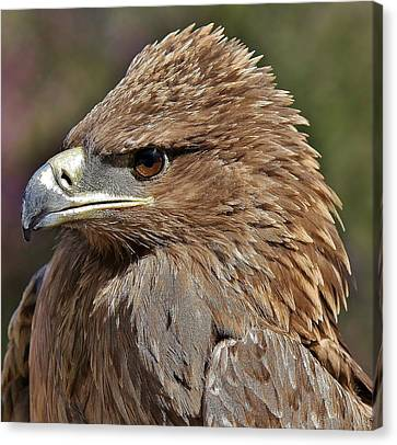 Tawny Eagle Up Close Canvas Print by Paulette Thomas