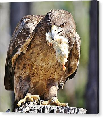 Tawny Eagle With Chicken Dinner Canvas Print by Paulette Thomas