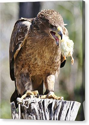 Tawny Eagle With His Prey Canvas Print by Paulette Thomas