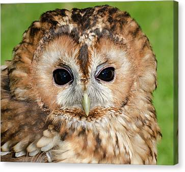 Tawny Owl Canvas Print by Nigel Downer