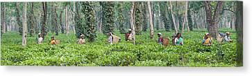 Tea Tree Canvas Print - Tea Harvesting, Assam, India by Panoramic Images