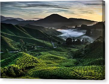 Tea Plantation At Dawn Canvas Print by Dave Bowman