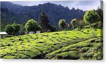 Tea Tree Canvas Print - Tea Plantation by Charline Xia