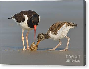 Canvas Print featuring the photograph Teaching The Young by Jerry Fornarotto