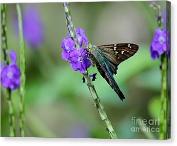 Canvas Print - Teal Long Tailed Skipper Butterfly by Sabrina L Ryan