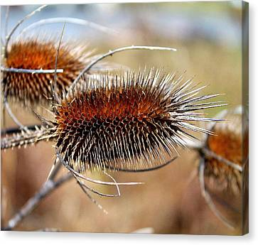 Canvas Print featuring the photograph Teasel by Candice Trimble