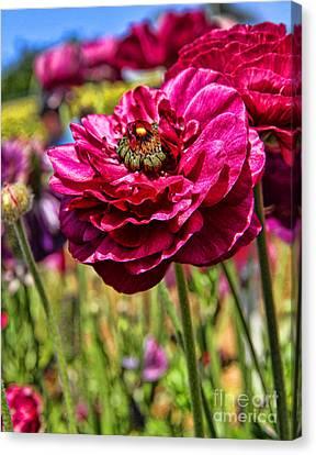 Tecolote Ranunculus Flowers By Diana Sainz Canvas Print by Diana Sainz