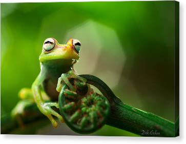Frog Canvas Print - tree frog Hypsiboas punctatus by Dirk Ercken