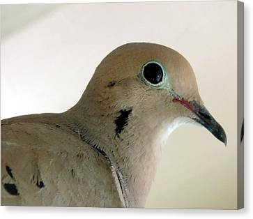 Teenage Dove Canvas Print