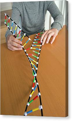 Teenager Demonstrating Dna Replication Canvas Print by Lawrence Lawry
