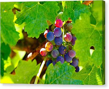 Napa Valley And Vineyards Canvas Print - Teenagers by Michael Blesius