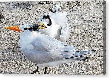 Telling Secrets Royal Terns Canvas Print by Judy Via-Wolff