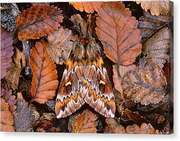 Temperate Rainforest Moth, La Canvas Print by Andres Morya Hinojosa
