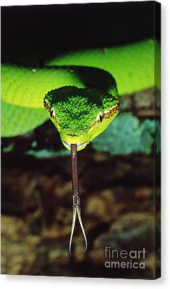 Temple Viper Canvas Print by Gregory G. Dimijian