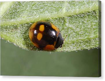 Ten-spot Ladybird Canvas Print by Science Photo Library