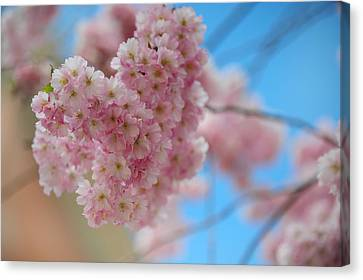 Tender Whisper. Pink Spring In Amterdam Canvas Print by Jenny Rainbow