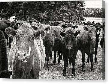 Tennessee Cattle Canvas Print by Jon Woodhams