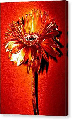 Tequila Sunrise Zinnia Canvas Print by Sherry Allen