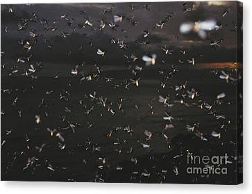 Termite Mating Swarm Canvas Print by Gregory G. Dimijian, M.D.