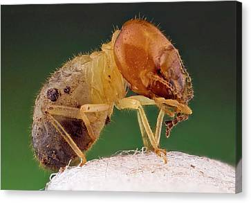 Termite Canvas Print