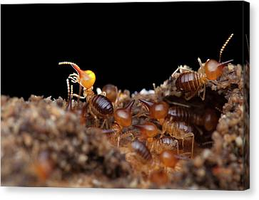 Termites Canvas Print by Melvyn Yeo